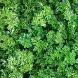 Extremely frilled bright green aromatic herb, providing an attractive garnish and mild flavor.