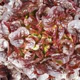"A soft red lettuce with distinctive ""Oak Leaf"" shaped leaves, combination of Deep Red and Green contrast."