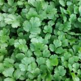Mid size flat leaved herb with a strong pungent flavour and aroma.